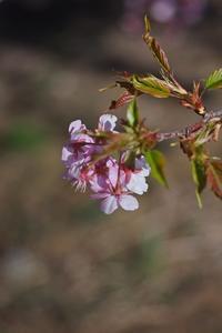 桜 - Hashihiro pHoto.