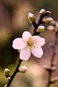加筆版/almondが一輪咲いたよ/南仏です - Changun-kun