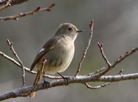 ジョウビタキ♀ - poiyoの野鳥を探しに