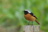 ジョウビタキ♂ - poiyoの野鳥を探しに