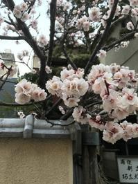 桜と雨 @ショールーム - 下駄げたライフ