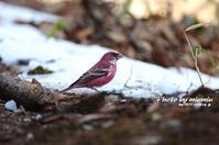 雪上のオオマシコ - azure 自然散策 ~自然・季節・野鳥~
