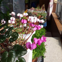 原種シクラメン・コウムが咲いたよ~♪ - 窓の向こうに