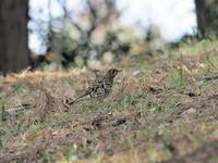 6年ぶりのトラツグミ - 気ままな野鳥観察