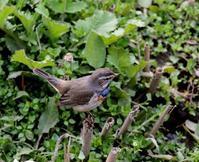 長居のオガワコマドリを・・・ - 一期一会の野鳥たち