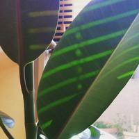 ミドリ日記:しましま+てんてんゴムの木 - pantaya2_カエルの体操
