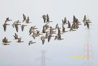 マガン - 北の野鳥たち