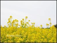 伊良湖菜の花まつり - Bonbon Fleur ~ Jours heureux  コサージュ&和装髪飾りボンボン・フルール
