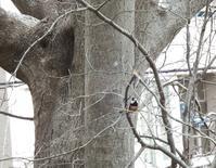 ヤマガラ - 日野・八王子の野鳥