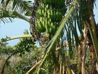 バナナ2房をみてニコッと! - 沖縄山城紅茶 茶摘み日記
