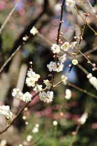 春を探して~♪お写んぽ散策 梅の花 新宿御苑 5 - Let's Enjoy Everyday!