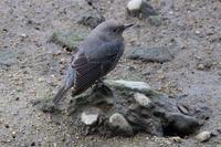 バンも2羽で行動中 - 野鳥写真日記 自分用アーカイブズ