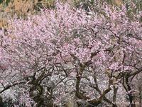 植物園の梅林  2017年3月7日 - LLC徒然