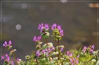 ホトケノザ咲き、可愛いつくしも - 気ままにデジカメ散歩