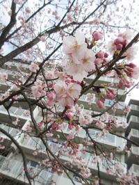 寒桜 - ichibey日々の記録