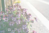 ビオラ - photomo