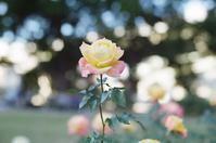 玉ボケと薔薇 - photomo
