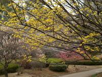 サンシュユ  春黄金花 - エンジェルの画日記・音楽の散歩道