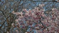 今年も桜が咲きました - 夜つぐみの鳴くところで