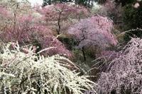 東日本で一番美しい枝垂れ梅が咲く花庭園(静岡県掛川市・龍尾神社)(その2) - 旅プラスの日記