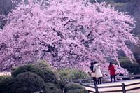 新宿御苑のシュゼンジカンザクラ - 子猫の迷い道Ⅱ