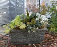 一ヶ月経ってやっともりもりして来たスキミア・ドワーフの寄せ植え - ヒバリのつぶやき