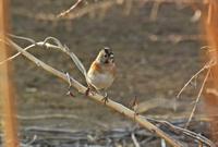 野火止の冬鳥アトリ II Brambling - 素人写人 雑草フォト爺のブログ
