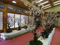 菅原天満宮の盆梅展 - 彩の気まぐれ写真