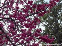 濃いピンクに桜咲く - 丁寧な生活をゆっくりと2