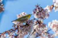 玉縄桜とメジロ - あだっちゃんの花鳥風月