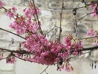 満開の寒緋桜 - フランス Bons vivants idees d'aujourd'hui