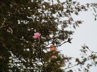 シデコブシの花開く - フランス Bons vivants idees d'aujourd'hui