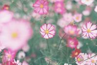 秋桜 - photomo
