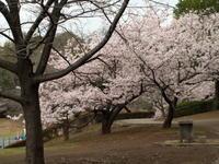 玉縄桜 - エンジェルの画日記・音楽の散歩道