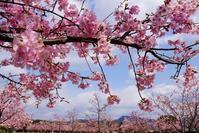 桜満開だけど寒い(≧▽≦) - kogomiの気ままな一コマ