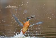 カワセミに春が...大阪府 - とことんデジカメ ♪野鳥写楽
