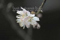 我が家の桜 - スポーツカメラマン国分智の散歩の途中で
