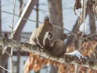 雪のち晴れ・・木の枝で毛づくろいのエゾリス君 - 十勝・中札内村「森の中の日記」~café&宿カンタベリー~