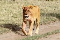 狩りに出かけるライオンは赤ちゃんたちを藪の中に隠し、狩りが成功すると迎えに行きます(4日目のサファリ) - 旅プラスの日記