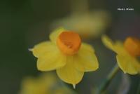 風の強い日の黄色いスイセン。 - Season of petal
