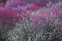 今年の梅 4 - Photo.Color