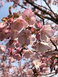 蜂須賀桜がきれいでした! - ドイツ語のある暮らし