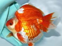 3月9日新着金魚のご紹介です(T/M済)その2 - フルタニ金魚倶楽部blog