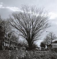 枝先がむず痒い中央分離帯の欅 - Film&Gasoline