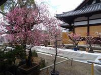 菅原天満宮の庭の盆梅 - 彩の気まぐれ写真