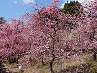 城南宮の枝垂れ梅 - 彩の気まぐれ写真