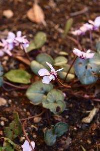 裏庭のシクラメンコウムが咲いた♪ - 小さな庭 2