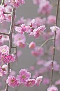 自宅の枝垂れ梅が漸く満開に - 玉家の生存報告