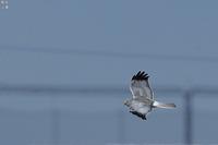 ハイイロチュウヒ - 野鳥公園