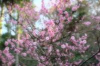 早春の北鎌倉・・・明月院 - aya's photo